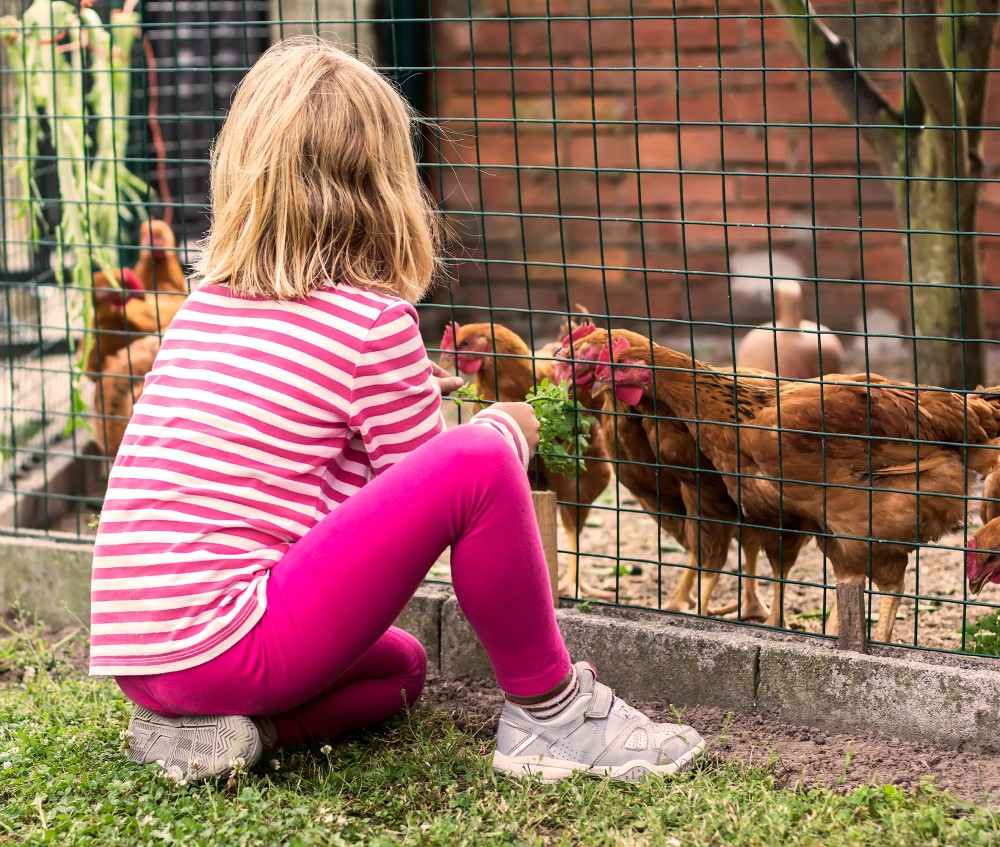 Feeding the chickens at a chicken coup