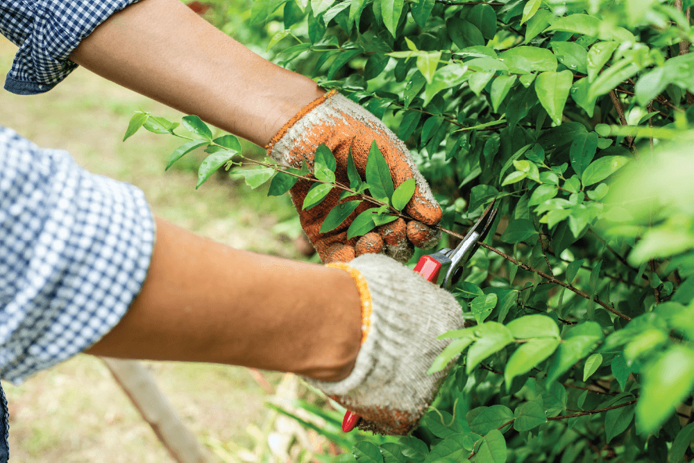 Person pruning shrub with handheld pruners